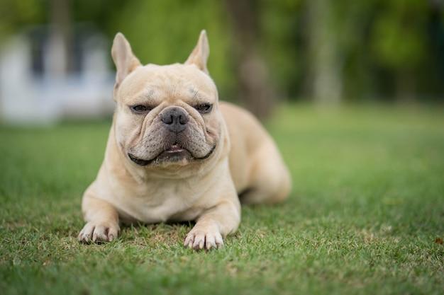 Cute looking bulldog lying on grass