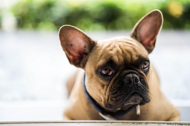 Cute looking french bulldog lying on balcony