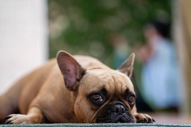 Cute looking french bulldog