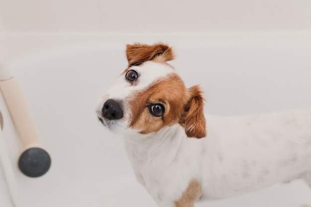 Cute lovely small dog wet in bathtub. young woman owner getting her dog clean at home