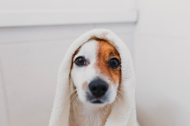 Cute lovely small dog wet in bathtub. young woman owner getting her dog dried at home