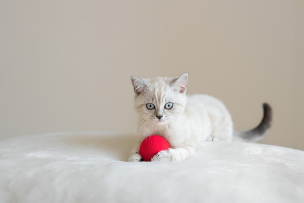 Cute lying beige blue eyed scottish kitten with red ball on fur cloth and beige background