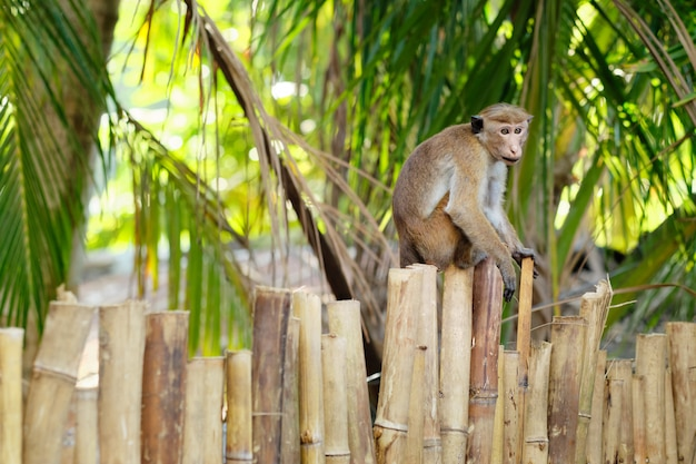 Cute macaca sinica monkey on bamboo park fence