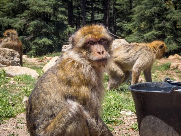 Carino macaca sylvanus berber monkey in una giungla in marocco