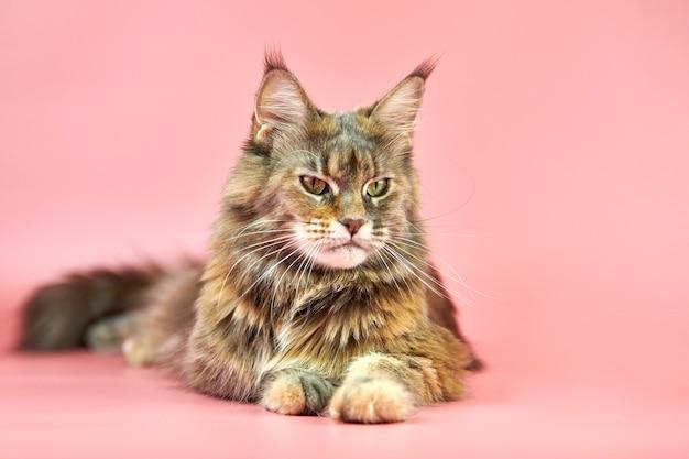 かわいいメインクーン猫
