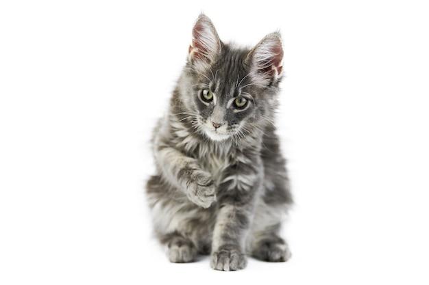 かわいいメインクーンの子猫