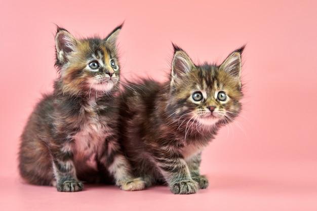 かわいいメインクーンべっ甲子猫