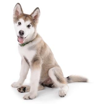 귀여운 malamute 강아지 앉아 흰색 절연
