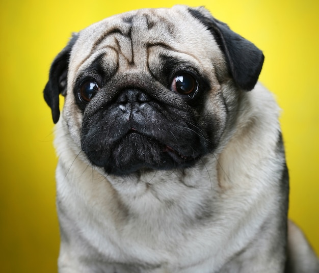 Cute male pug close up