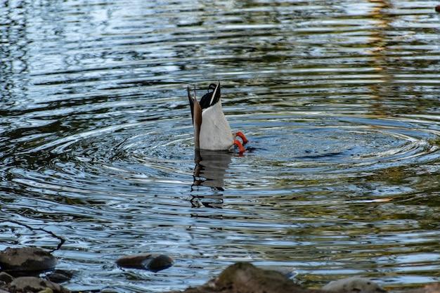 낮에는 호수에서 수영하는 귀여운 청둥 오리 오리