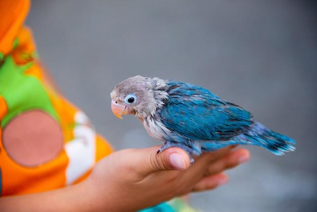 Cute masked lovebird pet sitting on finger