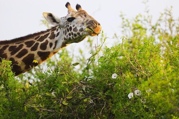 Милый жираф massai в национальном парке цаво восток, кения, африка