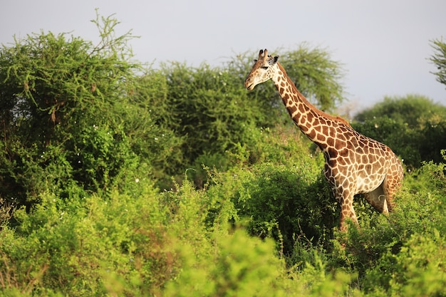 Carino massai giraffe nel parco nazionale orientale di tsavo, kenya, africa