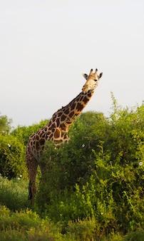Cute massai giraffe in tsavo east national park, kenya, africa