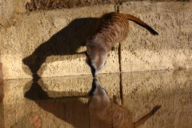 Cute meerkat looks at his reflection