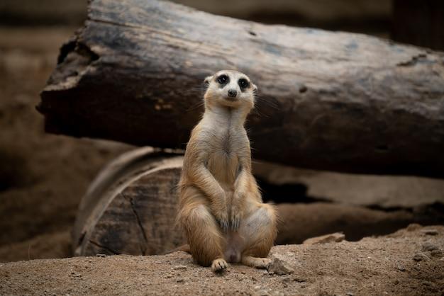 Cute meerkat (suricata suricatta)