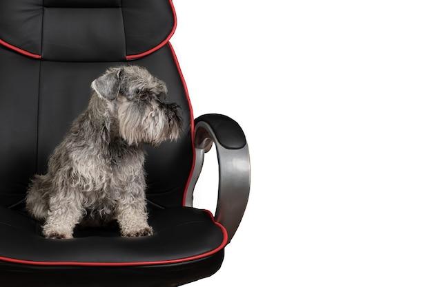 Симпатичная миниатюрная собака шнауцера, сидящая в офисном кресле на белом фоне, копией пространства, вид сбоку. может использоваться как иллюстрация бизнес-концепции.