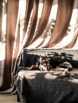 Cute mixed breed dog sleeping on a couch, hard leaf shadows on the curtain. living room. brown and gray colors