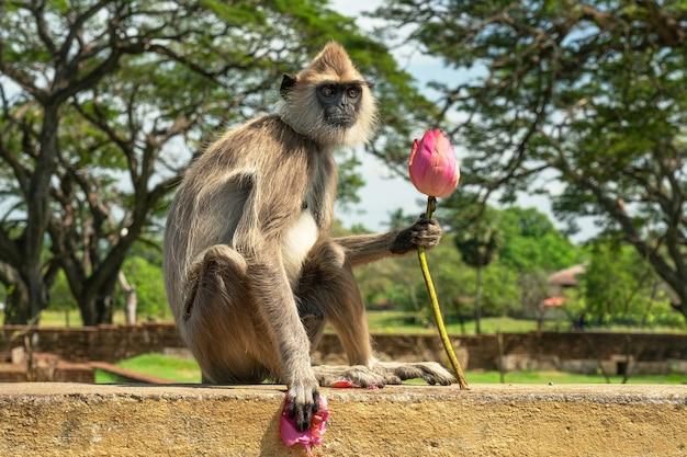 ピンクの蓮の花、スリランカと一緒に座っているかわいい猿。
