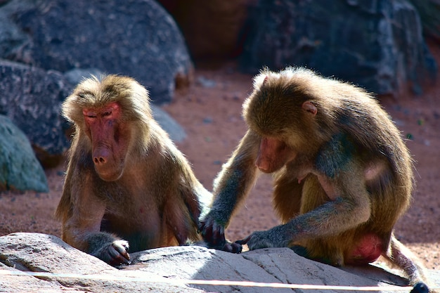 Cute monkeys playing around near rock formations on a sunny day