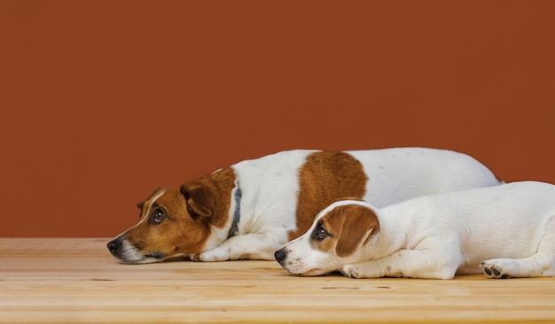 Cute mother and her puppy jack russel terrier dog
