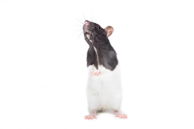 Симпатичная мышь или крыса изолированы
