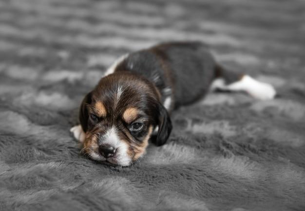 灰色のベールで眠っているかわいい新生児ビーグル犬の子犬、クローズアップ