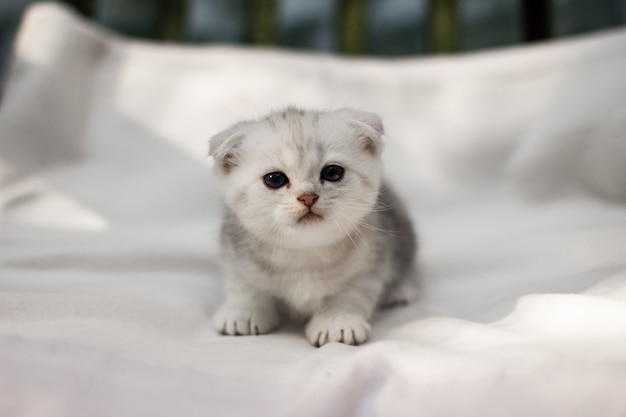 귀여운 신생아 스코틀랜드 배 새끼 고양이