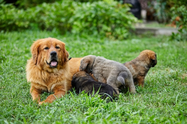 Cute newfoundland puppies sucking breast with milk from his mothers, lying on the green grass, dog breastfeeding, female dog with puppies.