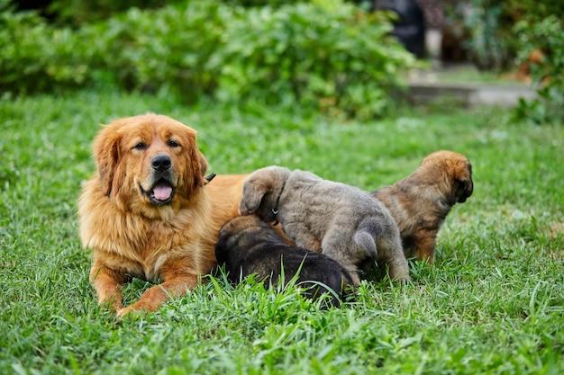 귀여운 뉴펀들랜드 강아지들은 어미의 젖으로 젖을 빨고, 푸른 잔디에 누워 있고, 개 모유 수유, 강아지와 함께 있는 암컷 개.