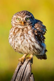 Cute owl, small bird with big eyes