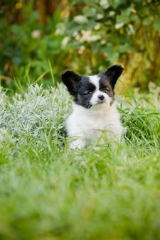 Симпатичный папильон на траве