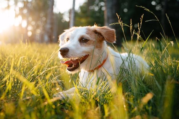 귀여운 파슨 러셀 테리어는 석양에 푸른 잔디에 누워 공원에서 여름에 개를 산책