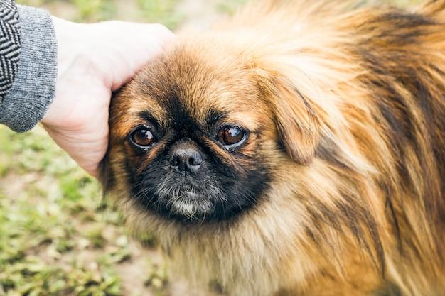 A cute pekingese dog