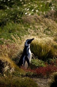 Cute penguin in punta arenas, chile. patagonia