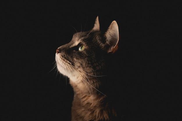 かわいい物思いにふける猫が黒い背景で横を見て見ています