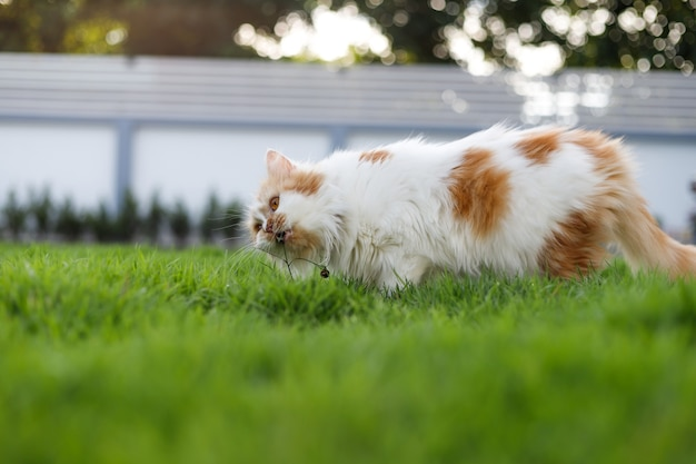 The cute persian cat is eating herbal grass on a green grass field
