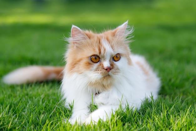 かわいいペルシャ猫は緑の芝生のフィールドに座っています