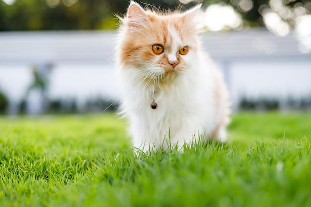 緑の芝生の上を歩くかわいいペルシャ猫