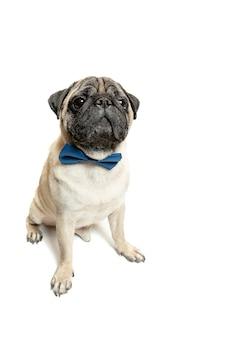 Симпатичная собака породы мопс сидит и улыбается от счастья, чувствуя себя таким забавным и делая серьезное лицо. чистокровная и умная собака на белом фоне. дружественная концепция