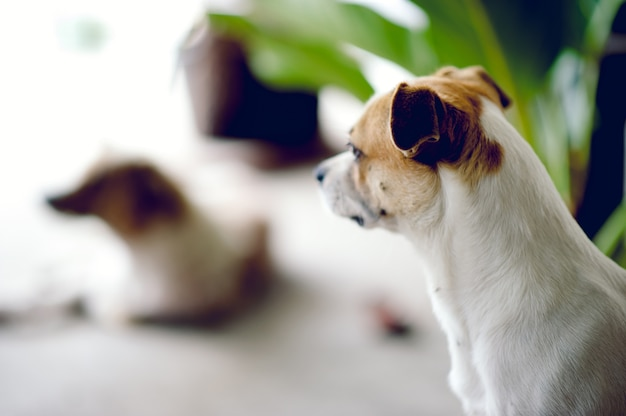 Cute pet dog white wait for the boss to return home. i sit in front of the house in the daytime.