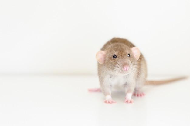 Милая пушистая крыса с коричневой бежевой шерстью на белом фоне