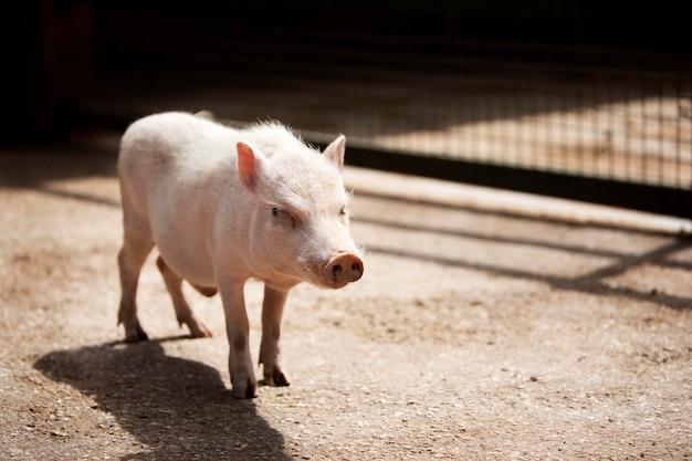 屋外でかわいい豚