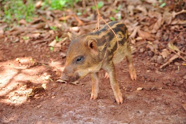 A cute pig on a pigfarm, thailand