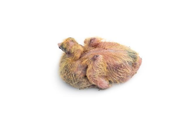 귀여운 비둘기 병아리는 격리 된 흰색 배경에 닫습니다