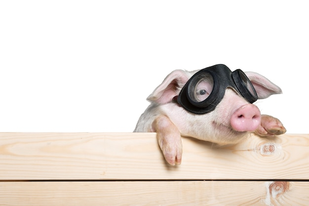 Cute piglet animal in aviator glasses hanging on a fence