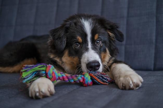 귀엽고 장난기 많은 호주 셰퍼드 3색 강아지는 소파에 장난감을 가지고 누워 있습니다. 놀고 싶어. 카메라를 찾고 있습니다. 애완 동물 친절하고 보살핌 개념.