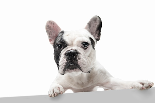 Cute playful white-black doggy or pet is playing and looking happy isolated on white