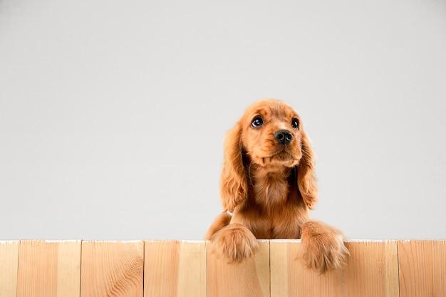 귀여운 장난 화이트 브라운 강아지 또는 애완 동물이 재생되고 흰색에 고립 된 행복 찾고