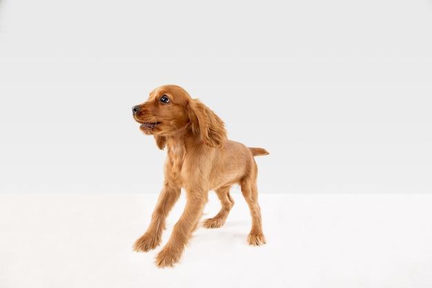 Il cagnolino o l'animale domestico giocoso bianco-braun sveglio sta giocando e sembra felice isolato su bianco